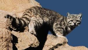 Bergkat